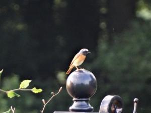Gekraagde roodstaart zit op het smeedijzeren hek te waken